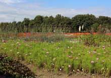 秋のおすすめの花 「コスモス」