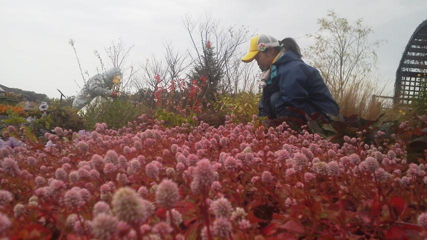 ヒメツルソバの花咲いてます
