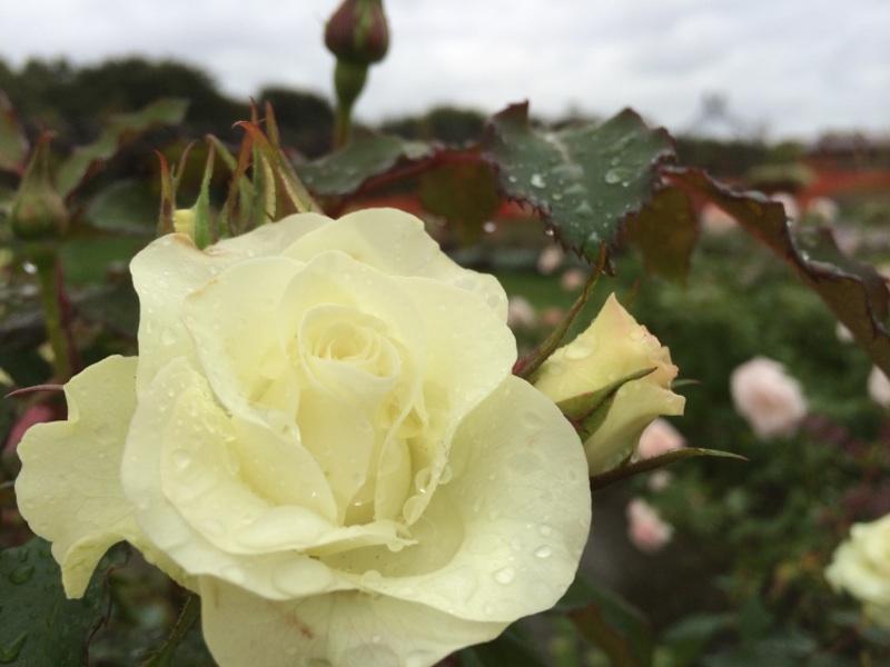 さまざまなバラ咲いてます!