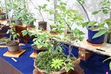 企画展示「黄金葉とツリバナマユミの仲間たち展」開催中!