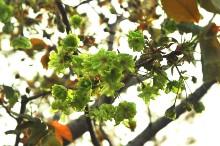 緑色のサクラ~御衣黄(ギョイコウ)~咲いています。