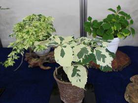 「斑入り植物展」