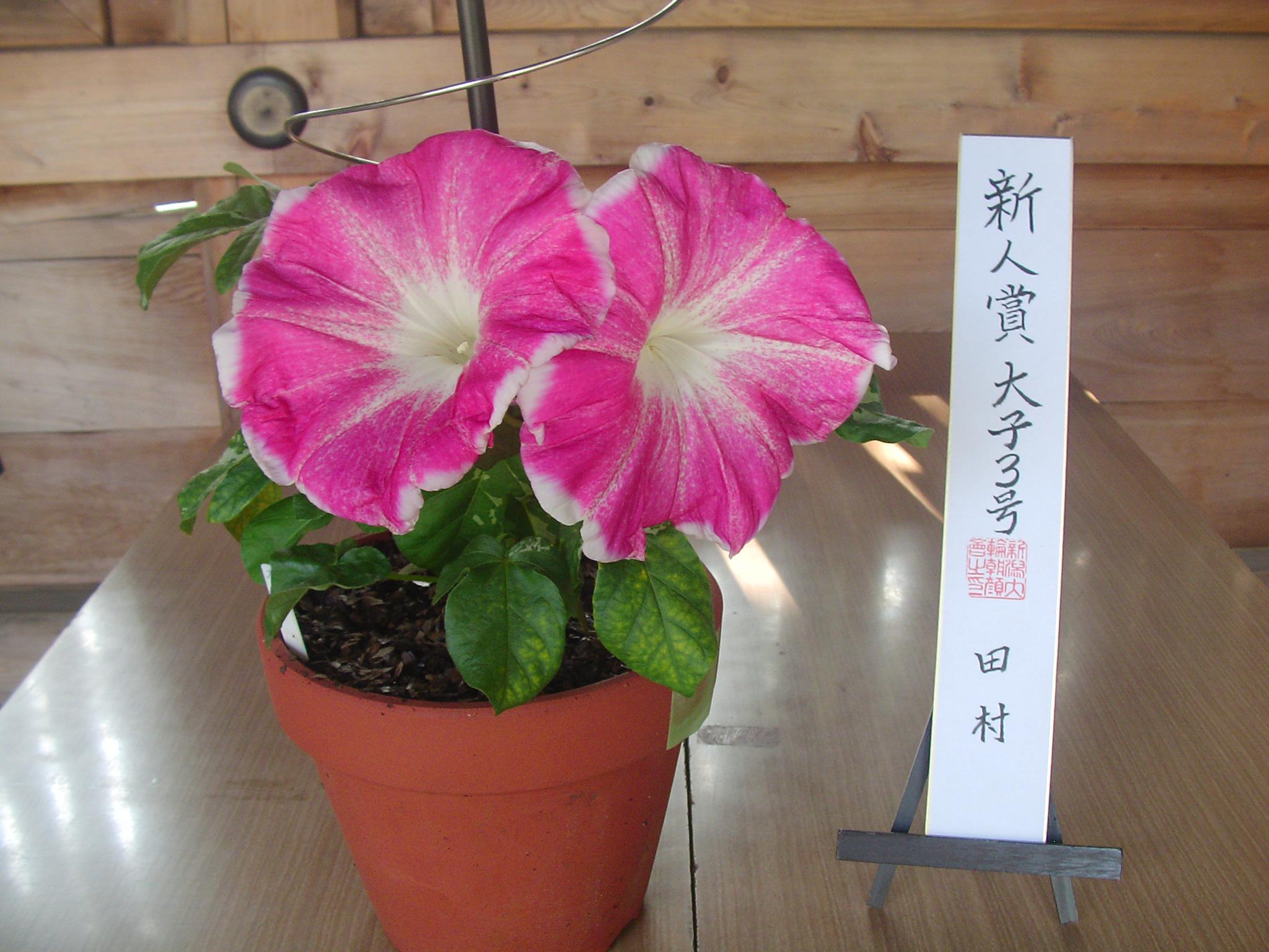 8/5(土)~6(日)【大輪朝顔展】開催