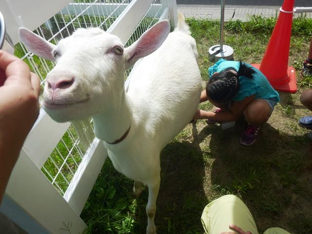 料理教室 「ヤギ乳しぼりとヤギ乳料理」を開催しました。