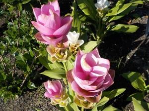 ピンク白の花