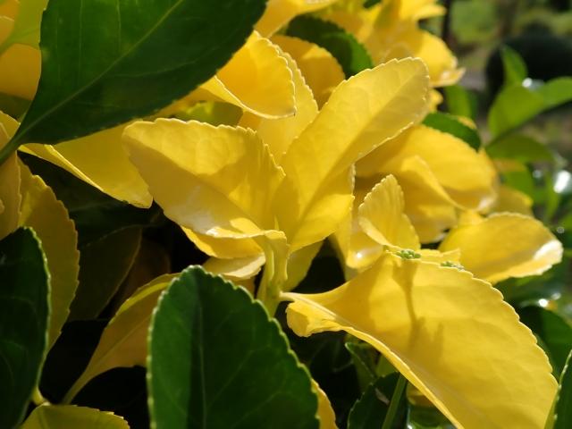 5/25(金)~5/27(日)黄金葉植物展開催