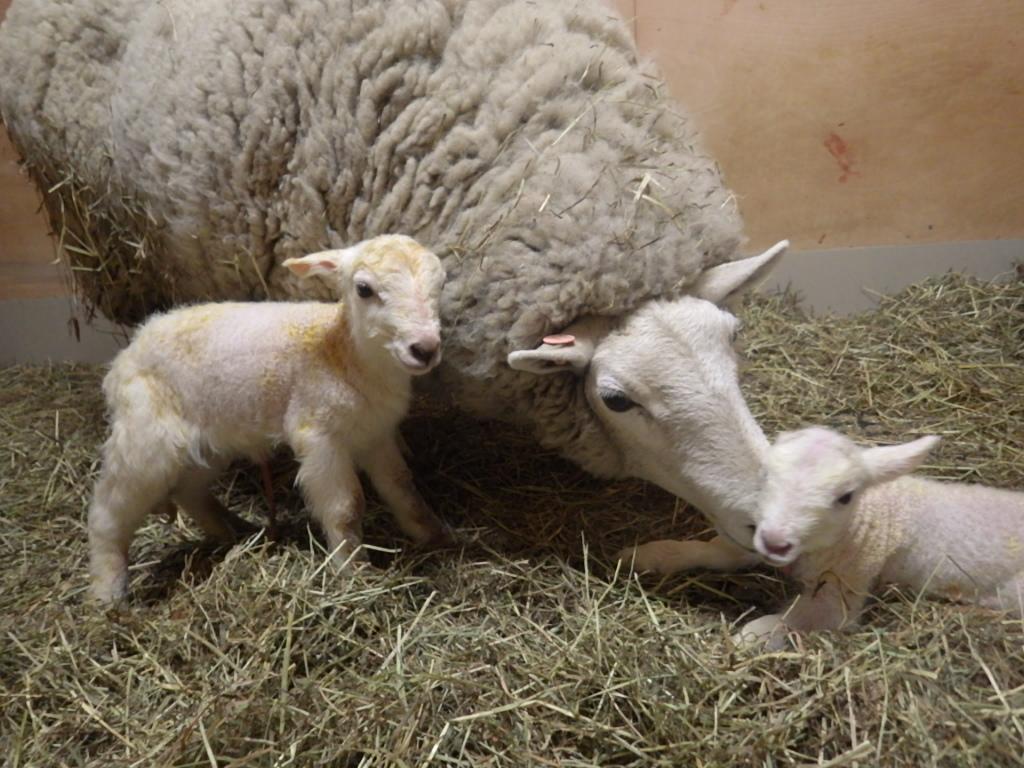 ヒツジの赤ちゃんが産まれました!