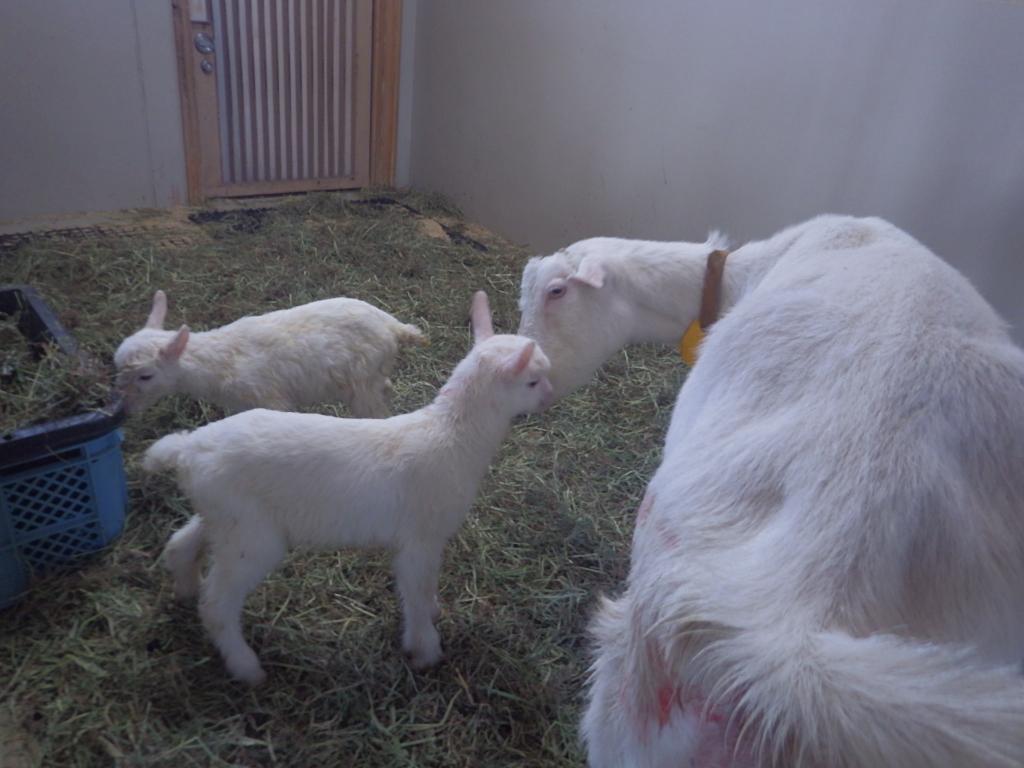 ヤギの赤ちゃんも産まれました!