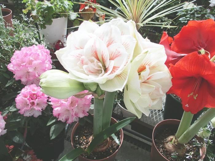 にいがた育ちのアマリリス 開花