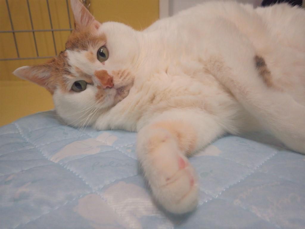 おとな猫のみりょく【しーちゃん】
