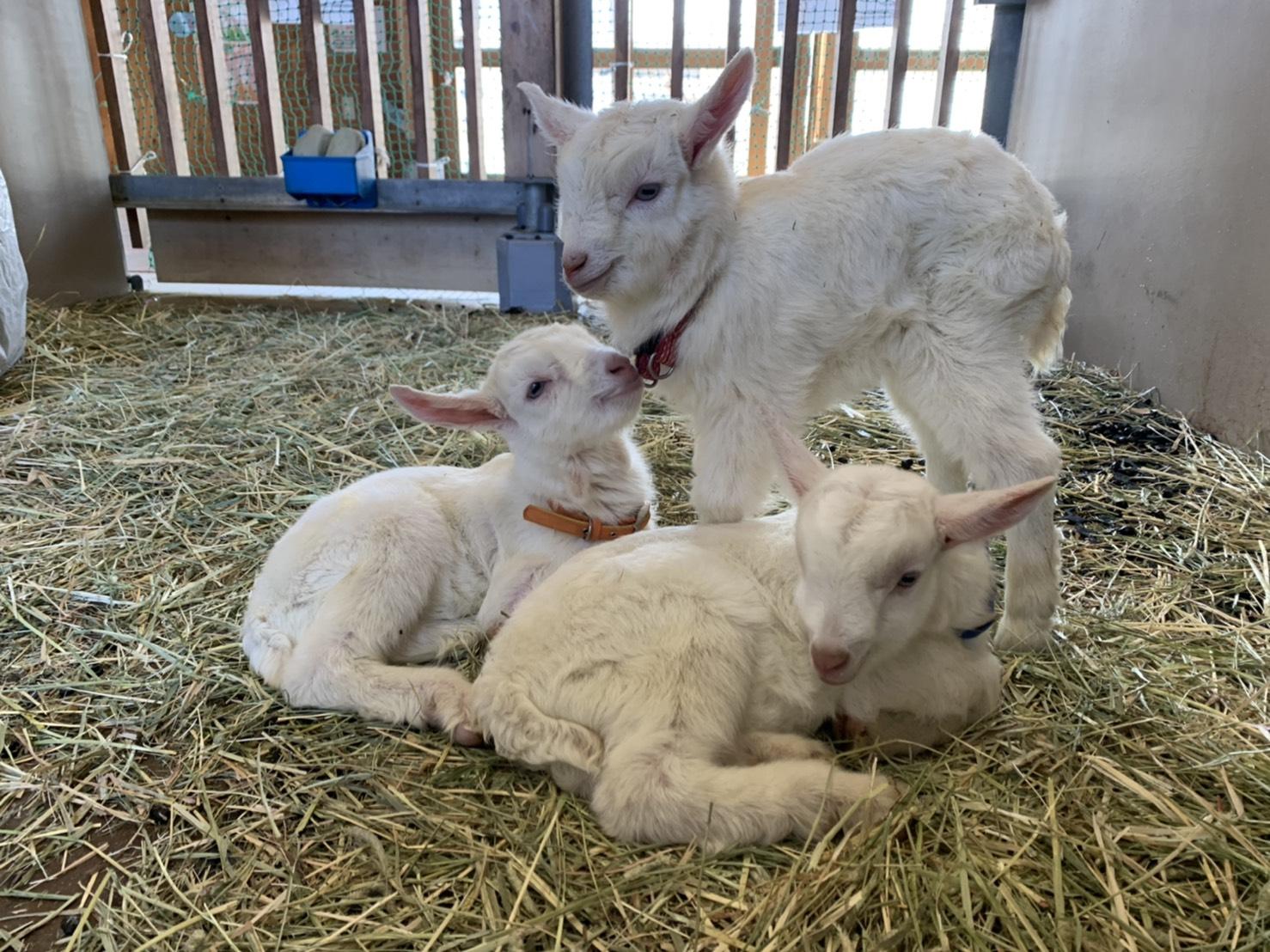 子ヤギが産まれました!
